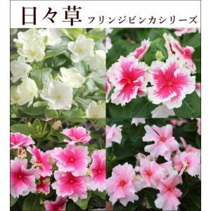 世界初!ひらひらした花びらが可愛いフリル咲きです♪ とても可憐な花。横に広がりながら大きくなるので、...