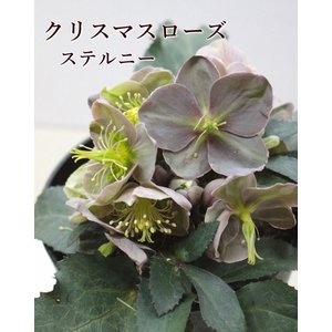 クリスマスローズ ミヨシ M&BFlora 9cmポット 7種 厳選...