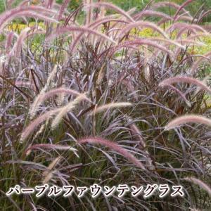 パープルファウンテングラス 5号 グラス類 半耐寒性多年草 カラーリーフ ペニセタム 庭のアクセント 花の苗 花鉢|agreable1999