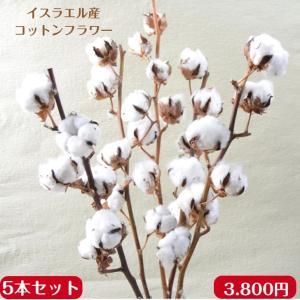 コットンフラワー ドライフラワー 綿の木 5本束  送料無料 あす着対応