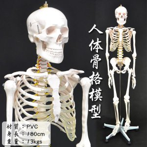 骨格模型 人体模型 等身大 整体 ヒューマンスカル 人体骨格模型 ###人体模型XC-101☆###|ai-mshop