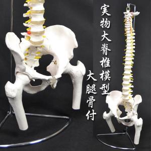 骨格模型 人体模型 脊髄模型 神経 大腿骨付 ###人体模型XC-126☆###|ai-mshop