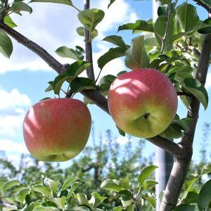 お歳暮 ギフト フルーツ りんご サンふじ 約2kg 5〜6玉入り 岩手県産 生産者限定 くだもの 御歳暮 贈答 贈り物|aionline-japan|05