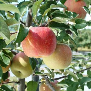お歳暮 ギフト フルーツ りんご サンふじ 約2kg 5〜6玉入り 岩手県産 生産者限定 くだもの 御歳暮 贈答 贈り物|aionline-japan|06