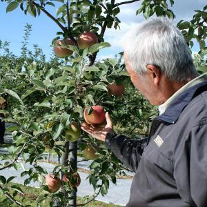 お歳暮 ギフト フルーツ りんご はるか 約2kg 5〜6玉入り 岩手県産 生産者限定 くだもの 御歳暮 贈答 贈り物|aionline-japan|04