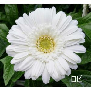白のガーベラ【産地直送・1本〜お好きな本数で】|airutoririka