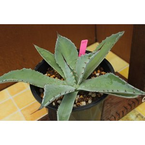 【現品のみ】アガベ オバティフォリア(Agave ovatifolia)|aitomatsudafarm