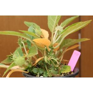 【現品のみ】ドルステニア フォエチダ (Dorstenia foetida)|aitomatsudafarm