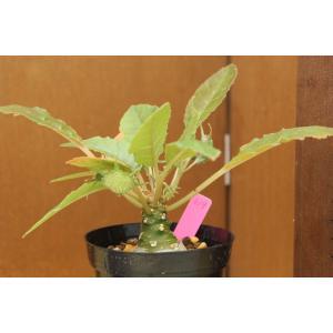 【現品のみ】ドルステニア フォエチダ (Dorstenia foetida) aitomatsudafarm
