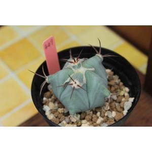 【現品のみ】サボテン エキノカクタス 弁慶(Echinocactus platyacanthus f. grandis) aitomatsudafarm