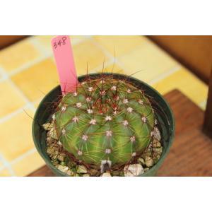 【現品のみ】サボテン 美青丸(Notocactus ottonis 'tenuispinus') aitomatsudafarm
