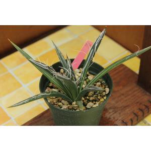 【現品のみ】アガベ フレキシフローラ (Agave parviflora ssp. flexiflora)|aitomatsudafarm