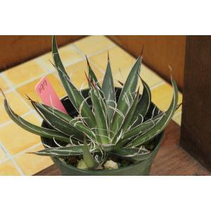 【現品のみ】アガベ ホワイトストライプ(Agave filifera ssp. schidigera 'White Stripe')|aitomatsudafarm