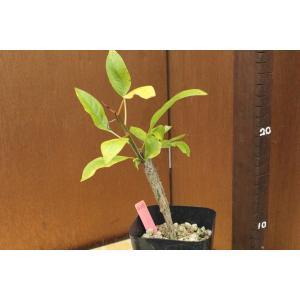 【現品のみ】フォークイエリア マクドウガリー(Fouquieria macdougalii) aitomatsudafarm