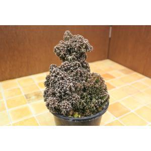 サボテン フェアリーキャッスル (Cereus tetragonus cv. 'Fairy Castle') aitomatsudafarm