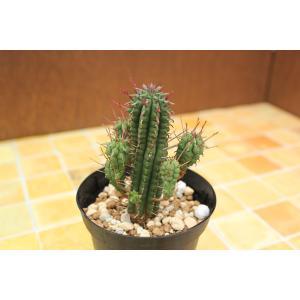 ユーフォルビア 姫キリン (Euphorbia submammillaris) aitomatsudafarm