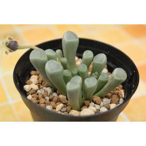 フェネストラリア 五十鈴玉 (Fenestraria rhopalophylla ssp. aurantiaca)|aitomatsudafarm