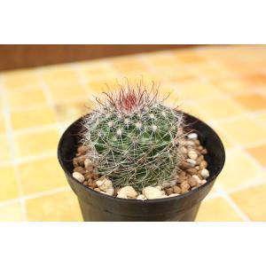 サボテン マミラリア 月影丸 (Mammillaria zeilmanniana) aitomatsudafarm