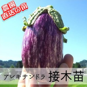 接木アレキサンドラ苗 9cm紫ポット
