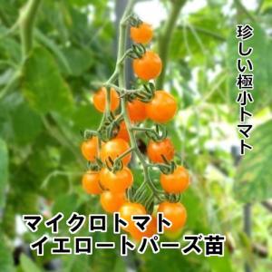 マイクロトマト イエロートパーズ苗 9cm白ポット...