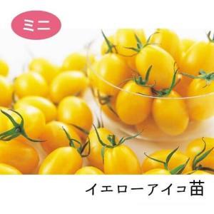 イエローアイコ苗 9cm黄ポット