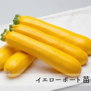 オーラム苗 10.5cm青ポット