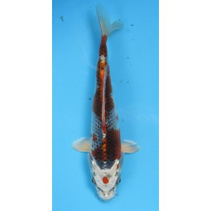 錦鯉 No609 クジャク黄金 令和2年産 18cm 錦鯉