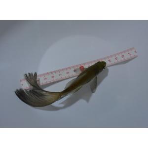 鉄魚(テツギョ)魚取沼厳選白黒個体 3歳