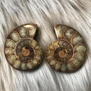 アンモナイト スライス 化石 ペア アンモナイト -1|ammolite-museum