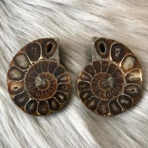 アンモナイト スライス 化石 ペア アンモナイト -5|ammolite-museum