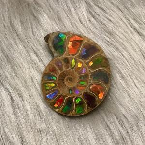 アンモナイト  スライス 化石 ペア アンモナイトアンモライト-6|ammolite-museum