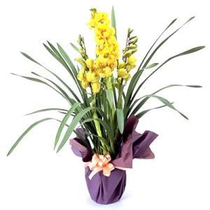 花 鉢植え お歳暮 蘭 黄色 シンビジウム お祝い 開店祝 ...
