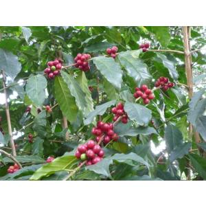 厳選ストレートコーヒー豆「コロンビア タママウンテン」(フレンチロースト・200g)/自家焙煎スペシャルティコーヒー珈琲豆|anokoro