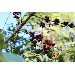 厳選ストレートコーヒー豆「東ティモール キリレロ」(ハイロースト・200g)/自家焙煎スペシャルティコーヒー珈琲豆|anokoro
