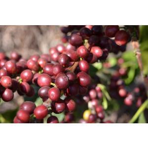 厳選ストレートコーヒー豆「グァテマラ ラ・ホヤ」(シティロースト・200g)/自家焙煎スペシャルティコーヒー珈琲豆|anokoro
