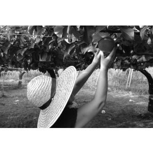 幸水 梨 5L 9個〜10個入り 千葉県市川産市川の梨 産地直送梨伝統の味 お彼岸贈り物 お中元暑中見舞い|antbeeshop|08