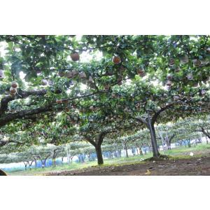 幸水 梨 5L 9個〜10個入り 千葉県市川産市川の梨 産地直送梨伝統の味 お彼岸贈り物 お中元暑中見舞い|antbeeshop|10