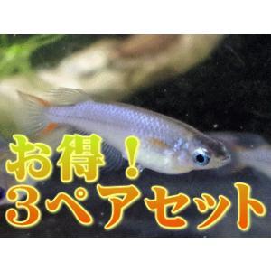 卵生メダカ 国産オリジアス ウォウォラエ(お得!3ペアセット)|antonio