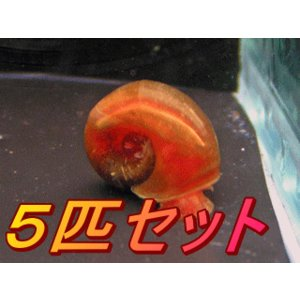 アントニオ産!レッドラムズホーン(5匹セット)|antonio