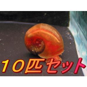 アントニオ産!レッドラムズホーン(10匹セット)|antonio