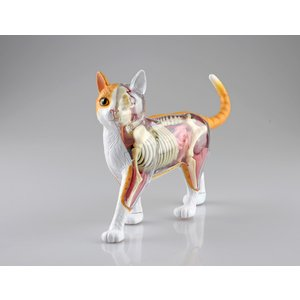 [予約12月発送予定][アオシマ通販限定]猫解剖モデル 橙/白 4D VISION 動物解剖モデル No.31 #立体パズル