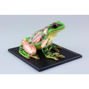 カエル 解剖モデル 4D VISION 動物解剖モデル No.05 #立体パズル|aoshima-bk