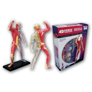 筋肉と骨格 解剖モデル 4D VISION 人体解剖モデル No.13 #立体パズル aoshima-bk