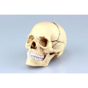1/2 頭蓋骨 解剖モデル 4D VISION 人体解剖モデル No.23 #立体パズル|aoshima-bk