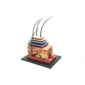 皮膚 解剖モデル 4D VISION 人体解剖モデル No.18 #立体パズル aoshima-bk
