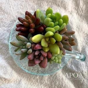 母の日 プレゼント 鉢花 多肉植物 カップ&ソーサー 小 ギフト ガラス 寄せ植え|apoa