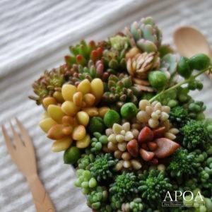 多肉植物 寄せ植え 弁当箱入り かわいい多肉弁当 鉢花 プレゼント ギフト|apoa