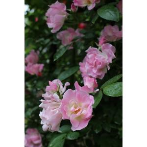 つる ピンク サマー スノー Pink Summer Snow Cl.