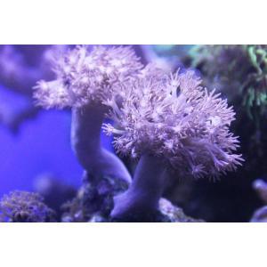 ウミアザミ(カンムリウミアザミ)-約6-7cm:状態良好|aqua-angel-shop|03