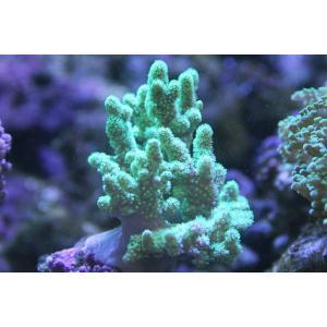 沖縄産・ナグラカタトサカ・メタリックグリーン-約7-8cm:状態良好 aqua-angel-shop